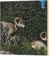 Big Horn Sheep Glacier National Park Wood Print