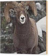 Bighorn Sheep, Maligne Canyon, Jasper Wood Print