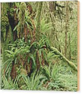 Bigleaf Maple Acer Macrophyllum Trees Wood Print