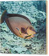 Bignose Unicornfish Wood Print