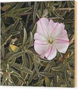 Bindweed (convolvulus Oleifolius) Wood Print
