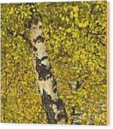 Birch Forest In Finland Wood Print