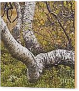 Birch Trees In Autumn Foliage Wood Print