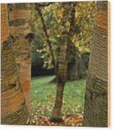 Birches In Autumn Wood Print