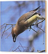 Bird - Cedar Waxwing - One At A Time Wood Print