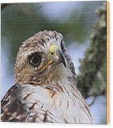 Bird - Red-tailed Hawk - Bashful Wood Print