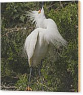 Bird Mating Display - Snowy Egret  Wood Print