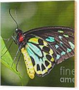 Birdwing Butterfly Wood Print