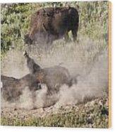 Bison Dust Bath Wood Print