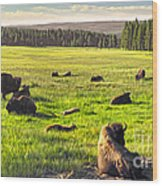 Bison Herd In Yellowstone Wood Print
