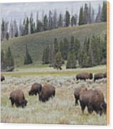 Bison Herd Wood Print