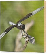 Black And White Widow Skimmer Dragonfly Wood Print