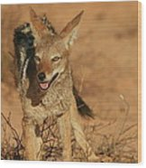 Black-backed Jackal Wood Print