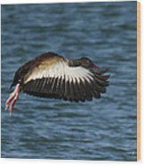 Black-belled Whistling-duck In Flight Wood Print