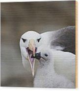 Black Browed Albatross Preparing Wood Print by Suzi Eszterhas
