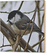 Black Capped Chick Wood Print