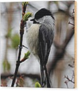 Black-capped Chickadee On Staff Wood Print