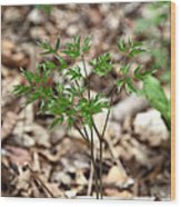Black Cohosh Wood Print