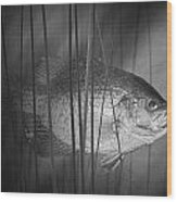 Black Crappie Or Speckled Bass Among The Reeds Wood Print