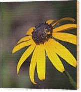 Black Eyed Susan With Young Bee Wood Print
