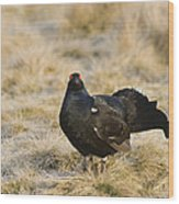 Black Grouse Displaying On A Lek Wood Print