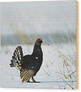 Black Grouse Tetrao Tetrix Wood Print by Konrad Wothe