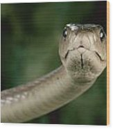 Black Mamba Dendroaspis Polylepis Wood Print by George Grall