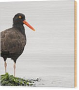 Black Oystercatcher  Martin Luther King Wood Print by Sebastian Kennerknecht