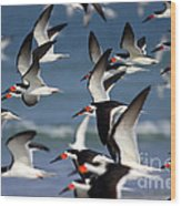 Black Skimmers Flock Wood Print by Clarence Holmes