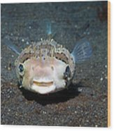 Black-spotted Porcupinefish Wood Print by Georgette Douwma