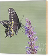Black Swallowtail Butterfly Feeding Wood Print