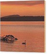 Black Swan Swims In Rotortua Wood Print