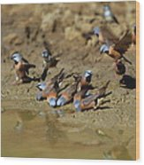 Black-throated Finches At Waterhole Wood Print