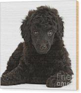 Black Toy Poodle Pup Wood Print