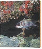 Blackfin Squirrelfish Swimming Wood Print