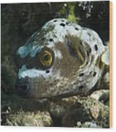 Blackspotted Puffer Wood Print by Matthew Oldfield