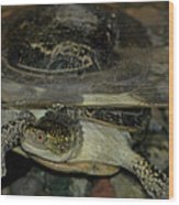 Blandings Swimming Turtle Wood Print