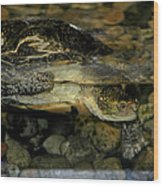 Blandings Turtle Wood Print