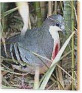 Bleeding Heart Pigeon Wood Print