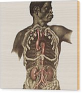 Blood Vessels Of The Thorax And Abdomen Wood Print by Mehau Kulyk