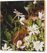 Bloodroot And Spring In The Woodland Wood Print