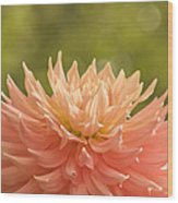 Bloomin' Dahlia Wood Print