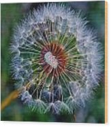 Blooming Dandelion Wood Print