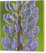 Blooming Lupine Wood Print by Sean Griffin