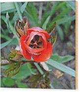 Blooming Tulip Wood Print