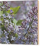 Blossoming Hyacinthiflora Lilacs Wood Print