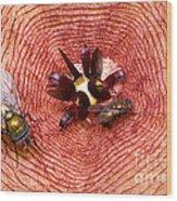 Blowflies On Stapelia Wood Print