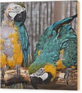 Blue And Gold Macaw Pair Wood Print