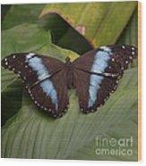Blue Banded Morpho Wood Print