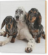 Blue Belton Setter And Dachshund Pups Wood Print